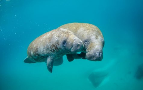 March Means Manatee Madness