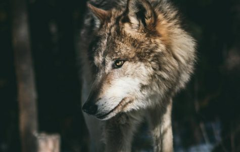 Did you know October 18 - 24 is Wolf Awareness Week?