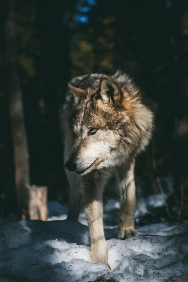 Did+you+know+October+18+-+24+is+Wolf+Awareness+Week%3F