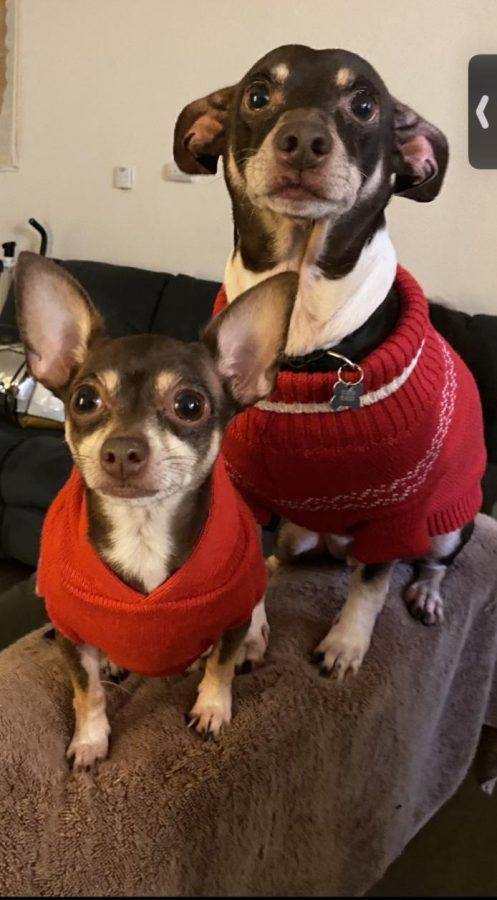 Browny and Nikki, Susana Munguias pups, love to dress up.