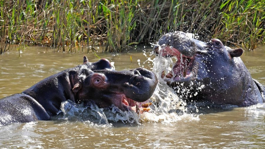 Hippos can be seen at the zoo or in Africa. Which one should you visit on World Hippo Day?