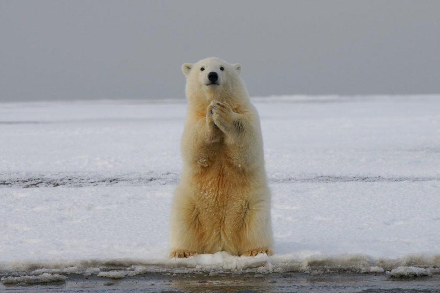 Please help the polar bears survive.
